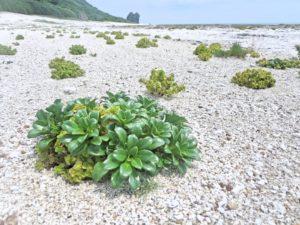 宝島の海岸の草