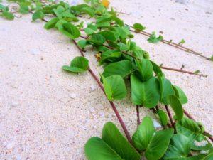 宝島の砂浜に生える草