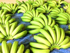 宝島のバナナの収穫