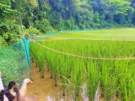 集落内にある合鴨農法の田んぼ