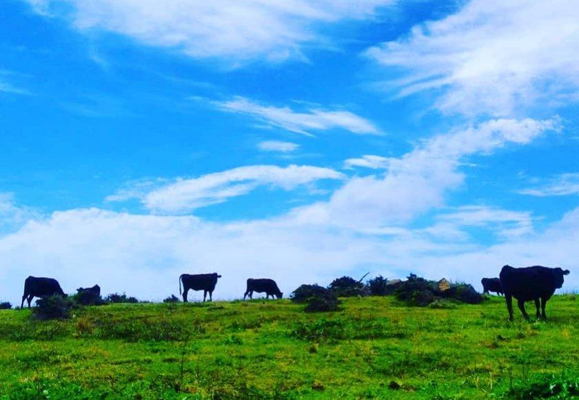 放牧されている牛たち