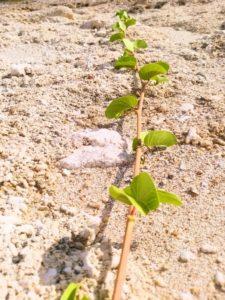宝島の浜辺の植物