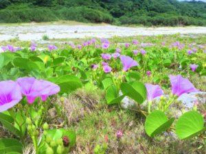 宝島の海岸に咲く花