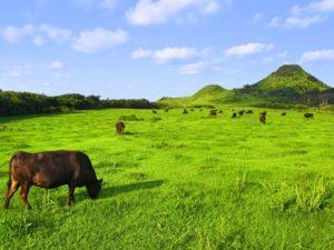 宝島の放牧されている牛たち