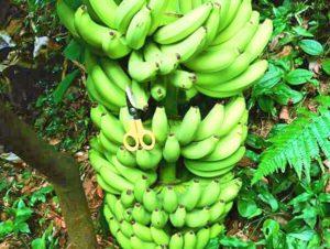 宝島のオーガニック・バナナ