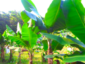 宝島のオーガニック・バナナの畑